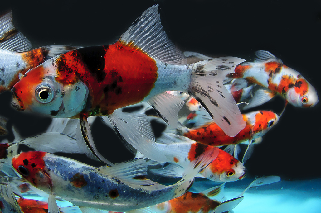 Gold fish for Yellow koi fish for sale